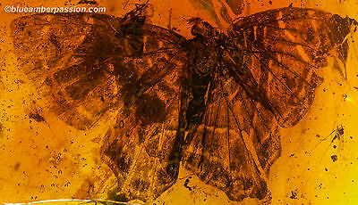 Dominican Amber Fossil AF01-102 Museum Quality Butterfly + GIA Certificate