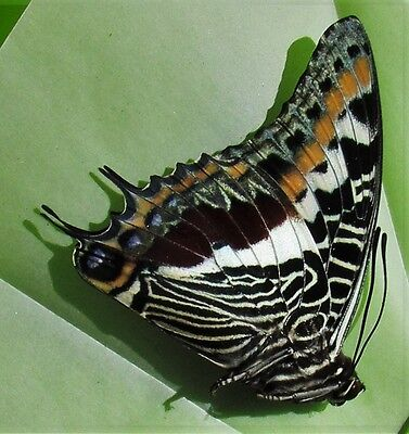 Giant Emperor Butterfly Charaxes castor Male Folded/Papered FAST SHIP FROM USA