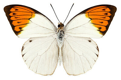 Great Orange Tip Hebomoia glaucippe celebensis Papered FAST SHIP FROM USA