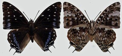 Lot of 2 Emperor Butterfly Charaxes etesipe etesipe Male Papered FAST FROM USA
