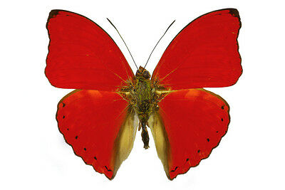 Red Glider Butterfly Cymothoe sangaris Male Folded/Papered FAST FROM USA
