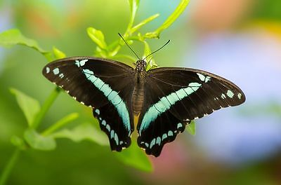 African Blue-banded Swallowtail Butterfly Papilio nireus Male Folded/Papered