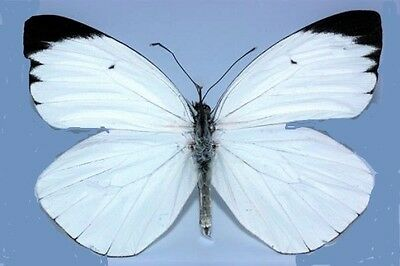 Lot of 2 Black Tip White Ascia Butterfly Ascia buniae Papered FAST SHIP FROM USA