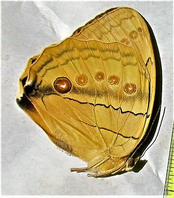 China Jungle Queen Stichophthalma neumogeni neumogeni Papered FAST SHIP FROM USA