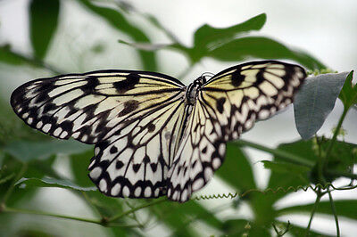 Paper Kite / Rice Paper Butterfly Idea leuconoe gordita Papered FAST FROM USA