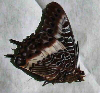 Lot of 2 White-barred Emperor Butterfly Charaxes brutus angustus Male Papered