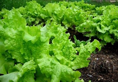 1000 BLACK SEEDED SIMPSON LETTUCE 2018 (all non-gmo heirloom vegetable seeds!)