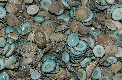 100 Quality Hand Picked Green Limpet Shells