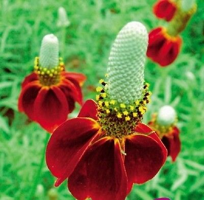 F0716 Mexican Hat Dwarf Red x100 seeds