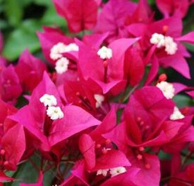 PLUM CRAZY Bougainvillea compact flowering hedging plant in 140mm pot