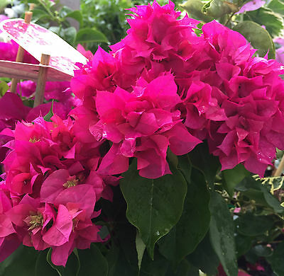KLONG FIRE Bougainvillea SEMI-THORNLESS red dble flower compact plant 140mm pot