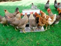 Chicken/Poultry/Chook-Treadle - Automatic-Feeder  Large