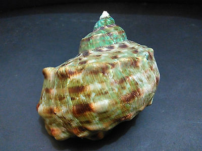 002- Seashell Turbo marmoratus 114 mm. w/o