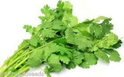 CORIANDER - HERB - 50g TO 20kg SEEDS FOR GROWING Bulk wholesale