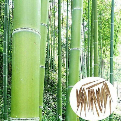 100+ Pcs Seeds Phyllostachys Pubescens Natural Moso-Bamboo Seeds Garden Plants
