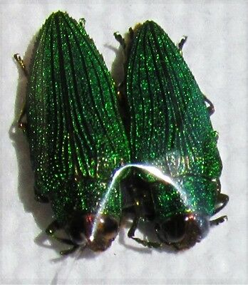 Lot of 2 Rare East African Jewel Beetle Evides triangularis  FAST SHIP FROM USA