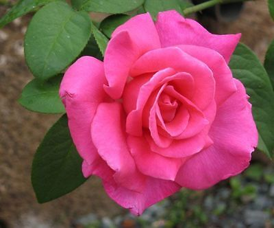 Perfume Delight Rose Bush (1 Plant) Border, Cut Flowers,Ornamental, Outdoor