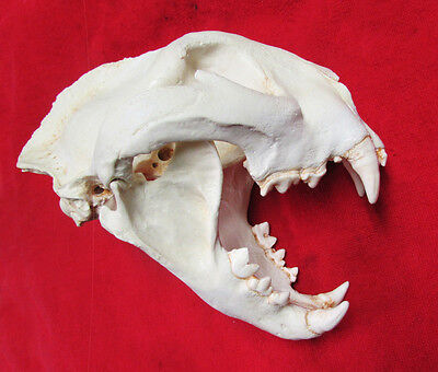 Monster mountain lion cougar puma skull taxidermy REPLICA cast SCI rank #2