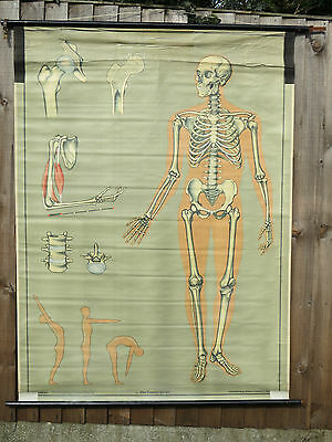 Vintage Anatomical Pull Down Medical School Chart Of The Human Skeleton 1965