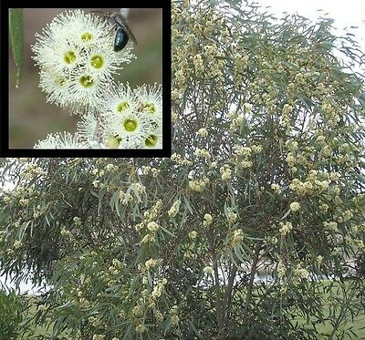 Tucker Time Honey Pots Eucalyptus wimmerensis native gum tree plant in 140mm pot