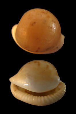 Conchiglia Shell CYPRAEA VOLVENS S.Africa 23,5 mm # VERY INTERESTING