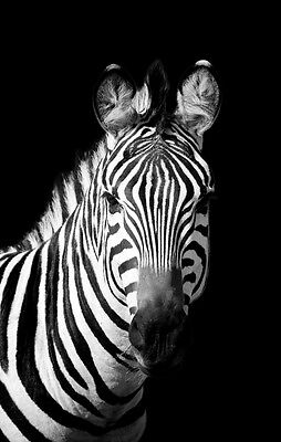 Beautiful Zebra Canvas Picture #27 Stunning Photography A1 Canvas Free P&p