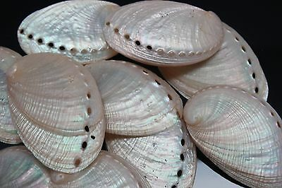 Pearl Abalone Shells (Case Pack 6) Free Shipping