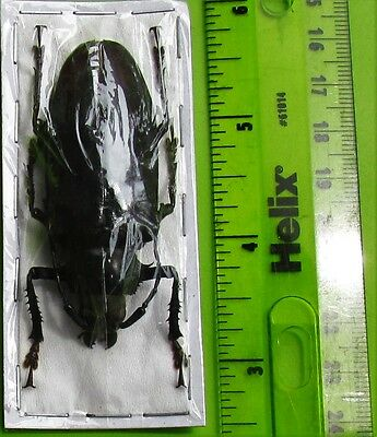 Javan Black Long horn Beetle Rhaphipodus bonni FAST SHIP FROM USA