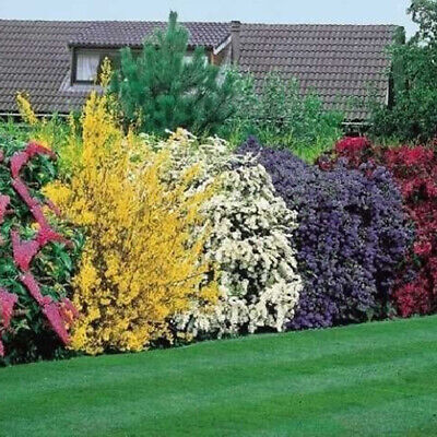 10 X High Quality Flowering Hedge Shrubs Colorful Healthy Potted Garden Plants