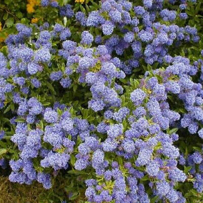 1 X Ceanothus 'Autumnal Blue' Evergreen Shrub Hardy Garden Plant In Pot