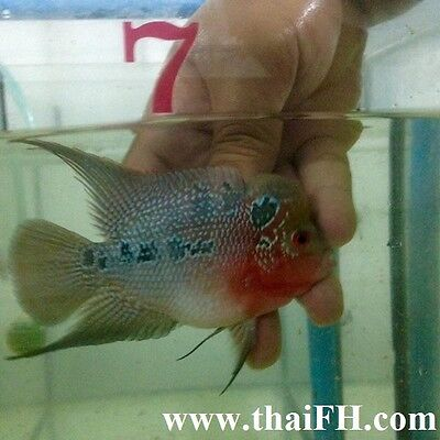 """Super red texas fowerhorn fish 4"""" (live fish) pictured"""