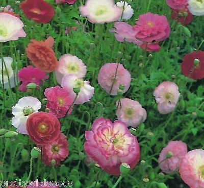 Poppy Shirley Double Mix Flower seeds Hardy annual cottage garden  16000 + seeds