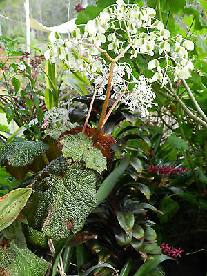 BEGONIA PLANT FOR HANGING POTS WHITE WATERFALL FLOWERS Unusual