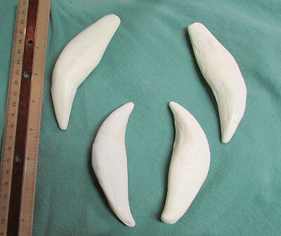 Set of massive African lion canines fangs cast replica taxidermy