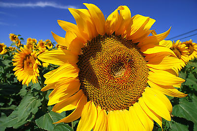 Sunflower Giant Russian (40 seed)-Organic Heirloom from Life-Force Seeds
