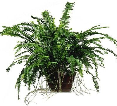 NEPHROLEPSIS Emerald Queen Fern tropical shade plant in 125mm pot