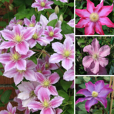 3 X Clematis Pink Coloured Large Flowering Climber Hardy Plant In Pot