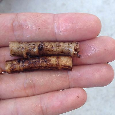 Live Comfrey Roots Cuttings x2 Grows Much Faster & More Viable Than Comfrey Seed