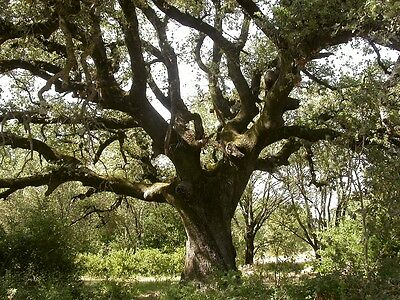 QUERCUS ILEX- HOLM OR EVERGREEN OAK seeds  ready to plant. 5 FOR £1.20