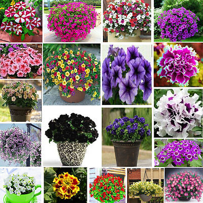 200 seeds of Petunia flowers pink red purple yellow white grandiflora multiflora