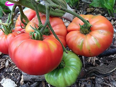 Tomato 'Rough De Marmande' x100 Seeds - Very Sweet And Super Easy To Grow