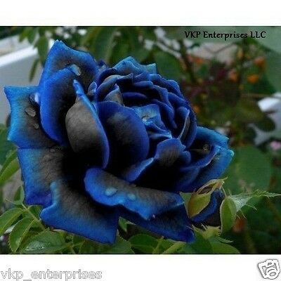 20 Midnight Supreme Rose Bush Flower Seeds Organically & USA Grown Annual Bloom