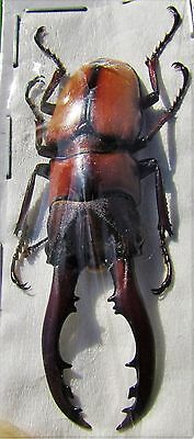 Lot of 2 Javan Stag-Beetle Prosopocoilus mohnikei mohnikei 30-35mm Male FAST USA