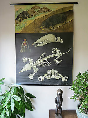 Vintage Jung Koch Quentell Pull Down School Wall Chart Poster Of  Mole Anatomy
