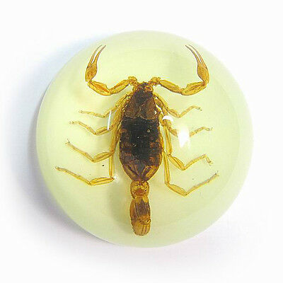 scorpion paper weight real insect in acrylic glow-in-the-dark dome
