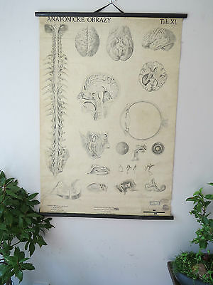 A Stunning Early Lithographic School Chart Of The Human Brain. Circa 1930