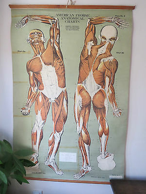 Vintage American Anatomical School Chart  Human Muscular System 1955