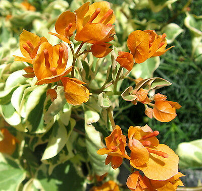 GOLDEN ICE Bougainvillea Variegated flowering climbing plant in 140mm pot
