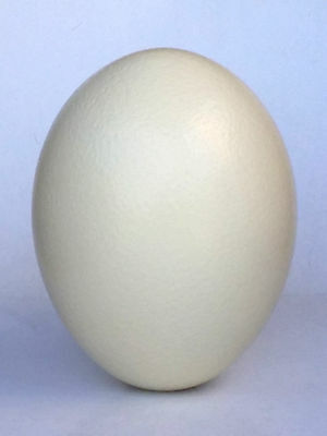 Oshtrich Egg Large Grade A Blown South African Eggs Ideal For Painting Carving