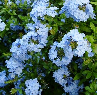 Plumbago Auriculata x1 plant, Blue Flowers, Not for NT